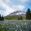 Summer wildflowers on Mt. hood, Oregon — Stock Photo