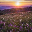 Stock Photo: Mountain wildflowers backlit by sunset