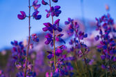 Blue lupine wildflower — Stock Photo