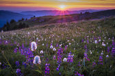 Mountain wildflowers backlit by sunset — Stock Photo