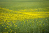 Canola fields under a summer clouds — Stock Photo