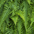 Sword ferns — Stock Photo