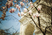 Spring tulip trees, Washington square park, New York City — Stock Photo