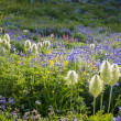 Mountain wildflowers, blue Lupine, Western pasque flower, red pa — Stock Photo