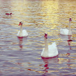 White swans — Stock Photo #20396777