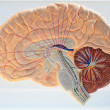 Stock Photo: Ascending pathways of brain.