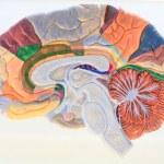 Постер, плакат: Cerebral hemisphere