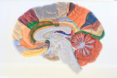 Cerebral hemisphere. — Stock Photo