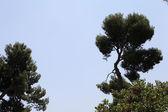 Pine Mediterranean. — Stock Photo