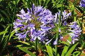Blå blommor. — Stockfoto