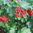 Stock Photo: Viburnum berries.