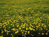 Blowball の花の草原 — ストック写真