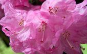Bloosom rododendron — Foto de Stock