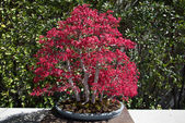 Japanese acer bonsai — Stock Photo