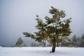 Snowy forest in Madrid mountains. — Stock Photo