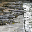 Saltwater Crocodiles — Stock Photo #28679817