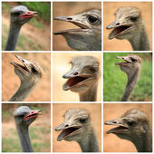 Ostrich photos from the farm — Stock Photo