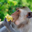A monkey nibbling corn — Stock Photo