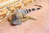 A huge Iguana — Stock Photo