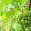 Stock Photo: Green mellow and ripe white wine Grapes
