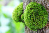 Green Moss on the Tree — Stock Photo