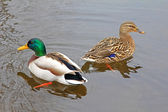 Wild Male and Female Ducks — Stock Photo
