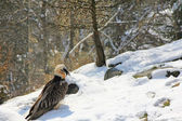 Bearded vulture, The Alpine bird of prey — Stock Photo