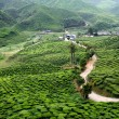 thee plantage op de cameron highlands, Maleisië, asia — Stockfoto