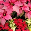Poinsettia (Euphorbia Pulcherrima) — Stock Photo
