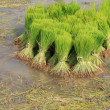 Bundles of Rice Sprouts in the Rice field — Stock Photo