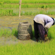 A Farmer seedling Rice Sprouts in the Rice field, South East Asia — Stock Photo #28882243