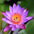 Purple Petal Lotus Flower (Water Lily) with bugs floating in the water — Stock Photo