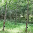 The Para Rubber Tree (Hevea brasiliensis) plantation — Stock Photo