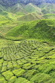 Tea Plantation at the Cameron Highlands, Malaysia, Asia — Stok fotoğraf