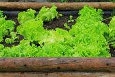 Home-grown vegetable — Stock Photo