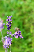 Honey Bee on Lavender Flowers in the garden — Stock Photo