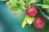 Fresh ripe home-grown Gooseberry — Stock Photo