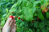 Fresh home-grown Raspberry — Stock Photo
