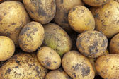 Freshly harvested Organic Potatoes with soil on them — Stockfoto