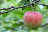 Apple tree with fruit in Trentino-Alto Adige, Italy — Stock Photo