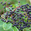 Elderberry (Sambucus Berries) — Stock Photo
