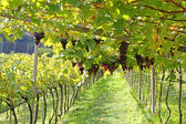 Ripe red wine Grapes in Trentino-Alto Adige, Italy — Stock Photo