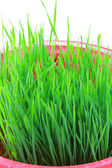 Closeup of Wheatgrass sprouts — Stock Photo
