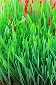 Wheatgrass sprouts — Stock Photo