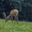 Deer in the meadow — Stock Photo #14051006