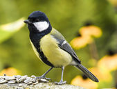Bird Parus major — Stockfoto
