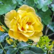 Stock Photo: Yellow Rose