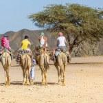 Постер, плакат: Camel tour