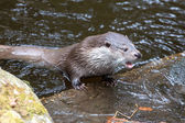 European Otter — Stock Photo