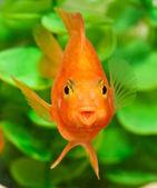 Sorriso feliz do papagaio de peixes de aquário — Fotografia Stock